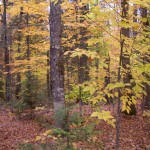 Hardwood Forest in the Fall
